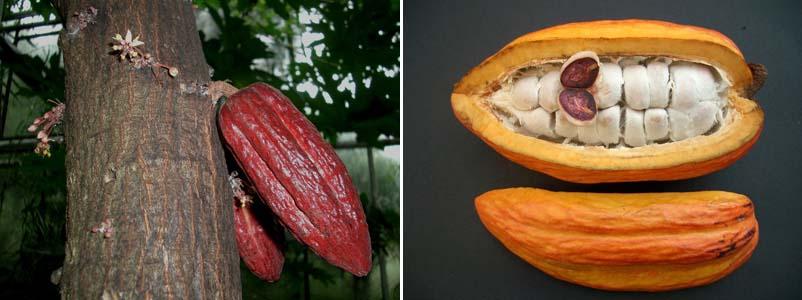 дерево Аброма какао (theobroma cacao)